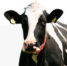 Kvægdyrlægerne Kronborg ApS logo