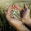 Korn og oljevekster